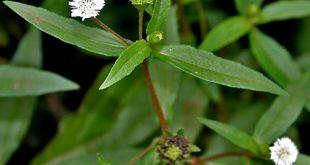 Thuốc việt bật mí công dụng chữa bách bệnh của cây nhọ nồi