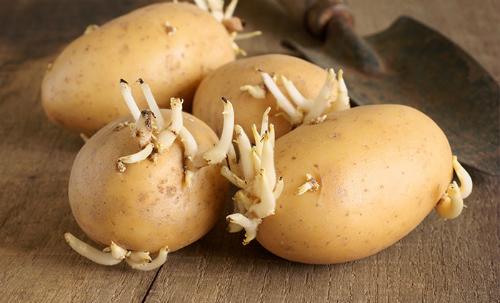 Sử dụng Khoai tây mọc mầm gây ngộ độc
