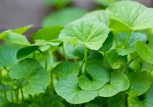 Rau mà thường mọc hoang hay được trồng rộng rãi ở nước ta