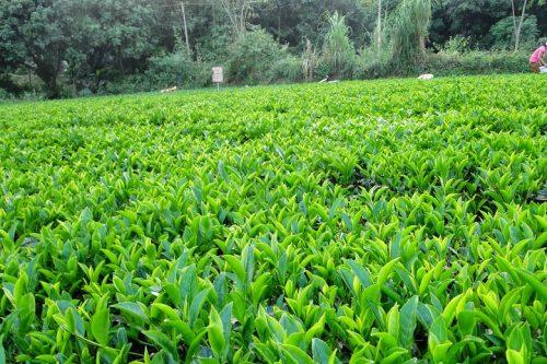 Chè được trồng nhiều mang lại lợi nhuận kinh tế cao