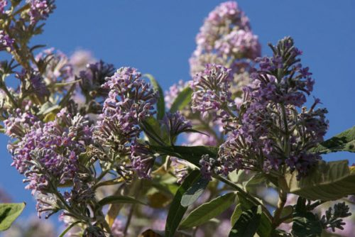 Mật mông hoa là một loại cây thảo thường mọc hoang