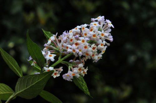 Công dụng chữa bệnh tuyệt vời từ cây thuốc Mật mông hoa