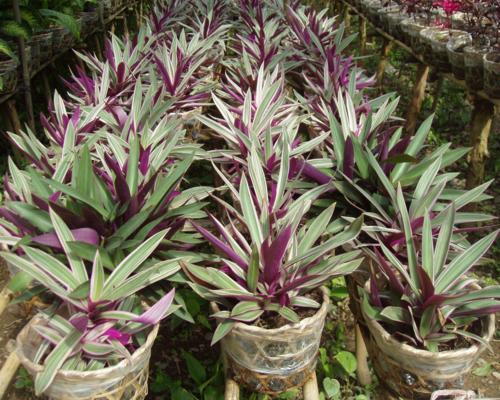 Sò huyết là một loại cây cảnh được trồng khá nhiều ở nước ta