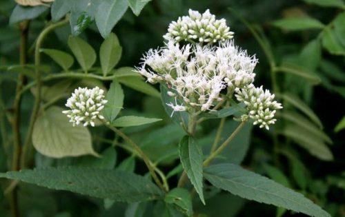 Bật mí công dụng chữa bệnh từ cây thuốc Trạch lan