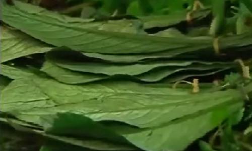 Lá xương sông điều trị bệnh thấp khớp