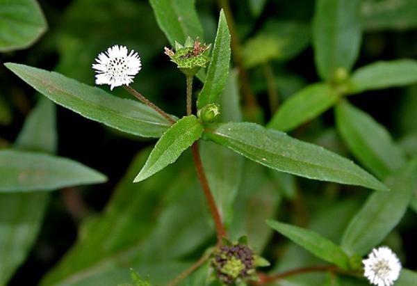 Cây cỏ mực chữa trị nhiệt miệng lở miệng