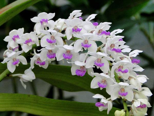 Cây hoa phong lan giúp thanh lọc không khí trong nhà