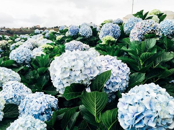 Hoa và lá cẩm tú cầu đều có chứa độc tố
